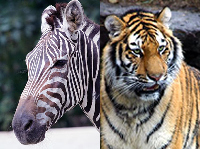 Zebra to Tiger: Changing Stripes